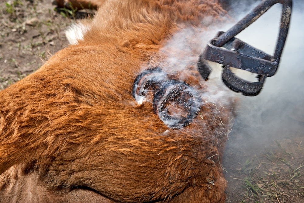 Branding Cattle the Right Way